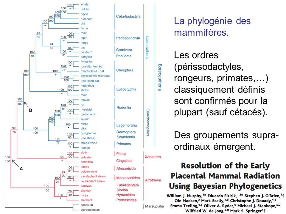 La phylogénie des mammifères.