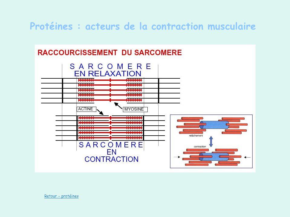 Protéines : acteurs de la contraction musculaire