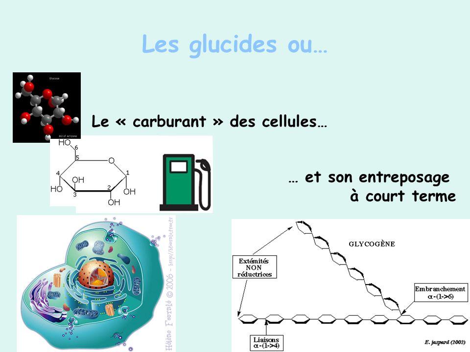 Les glucides ou… Le « carburant » des cellules… … et son entreposage