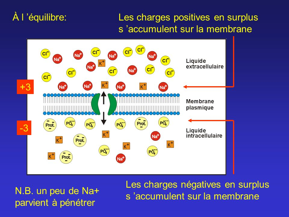 À l 'équilibre: Les charges positives en surplus s 'accumulent sur la membrane. +3. -3.