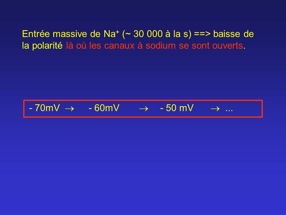 Entrée massive de Na+ (~ 30 000 à la s) ==> baisse de la polarité là où les canaux à sodium se sont ouverts.