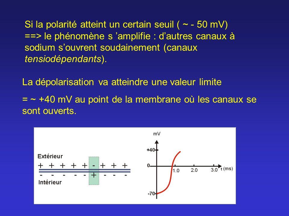 Si la polarité atteint un certain seuil ( ~ - 50 mV) ==> le phénomène s 'amplifie : d'autres canaux à sodium s'ouvrent soudainement (canaux tensiodépendants).