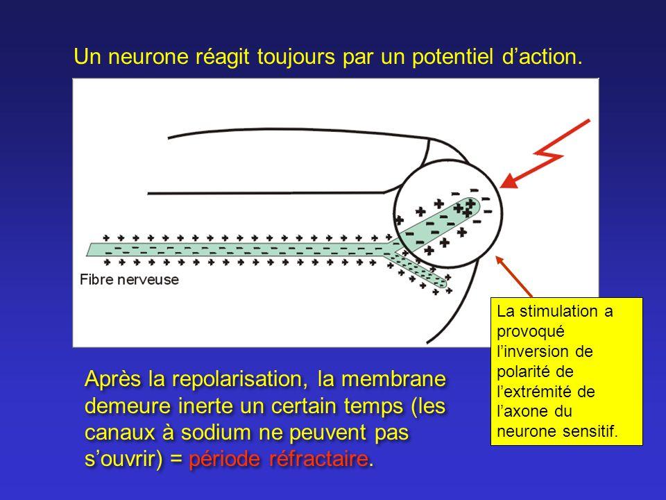 Un neurone réagit toujours par un potentiel d'action.