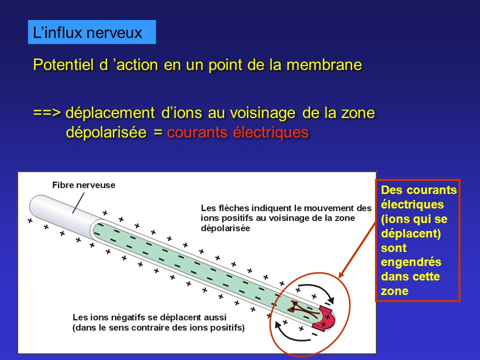Potentiel d 'action en un point de la membrane