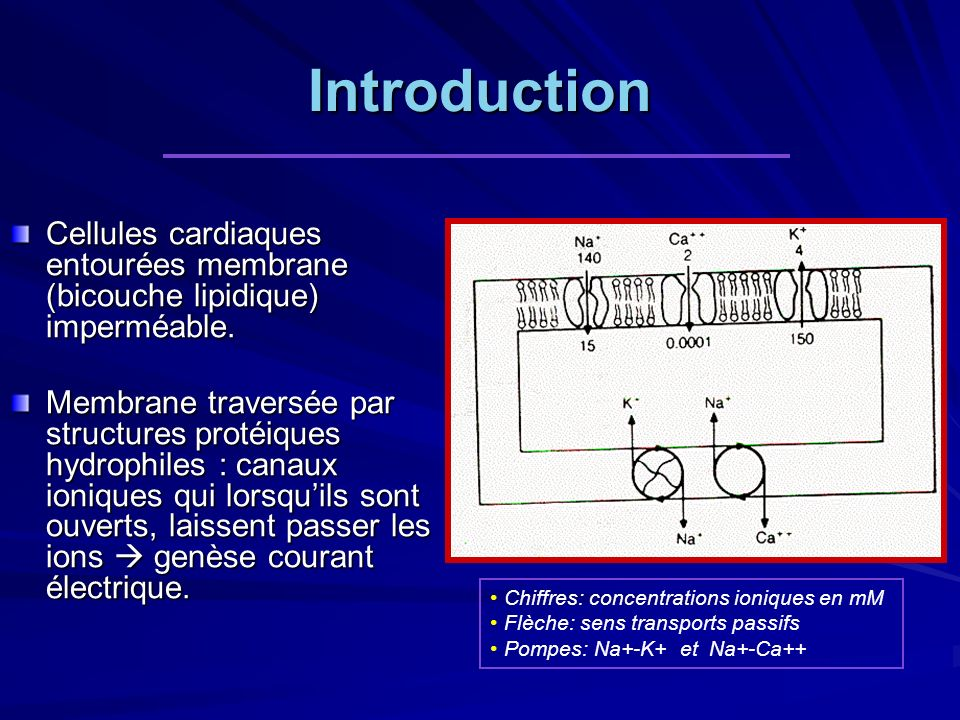 Introduction Cellules cardiaques entourées membrane (bicouche lipidique) imperméable.