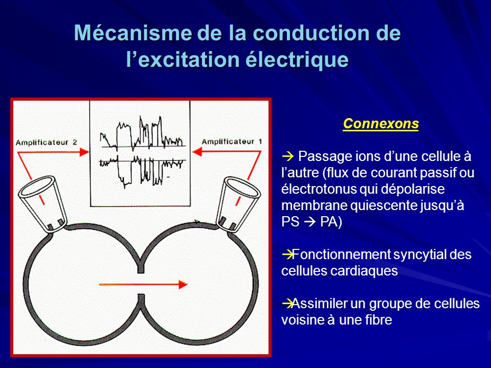 Mécanisme de la conduction de l'excitation électrique