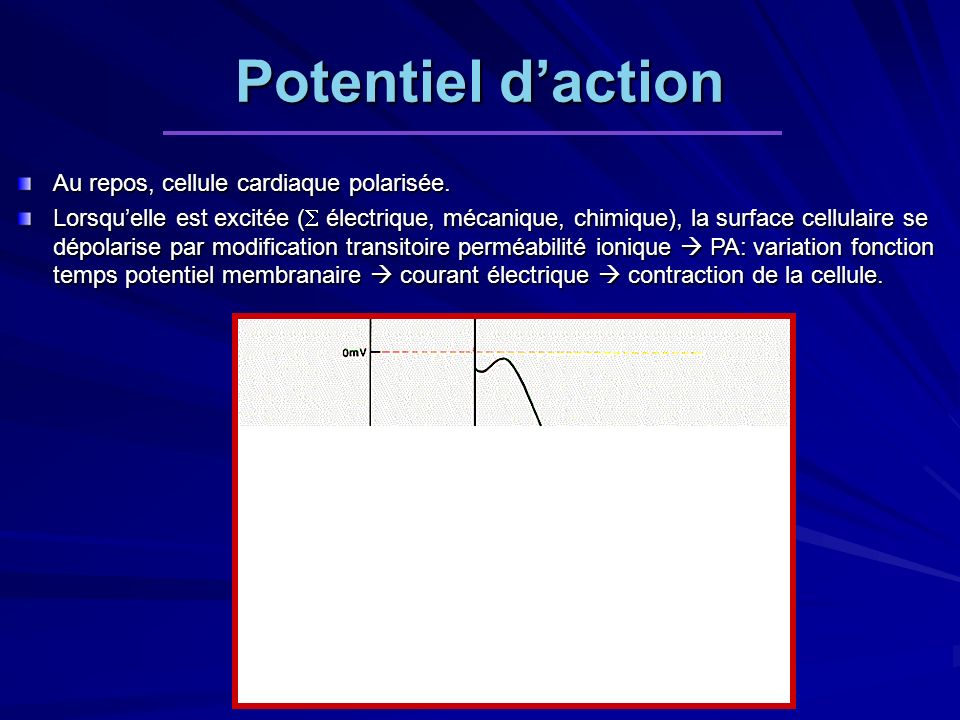 Potentiel d'action Au repos, cellule cardiaque polarisée.