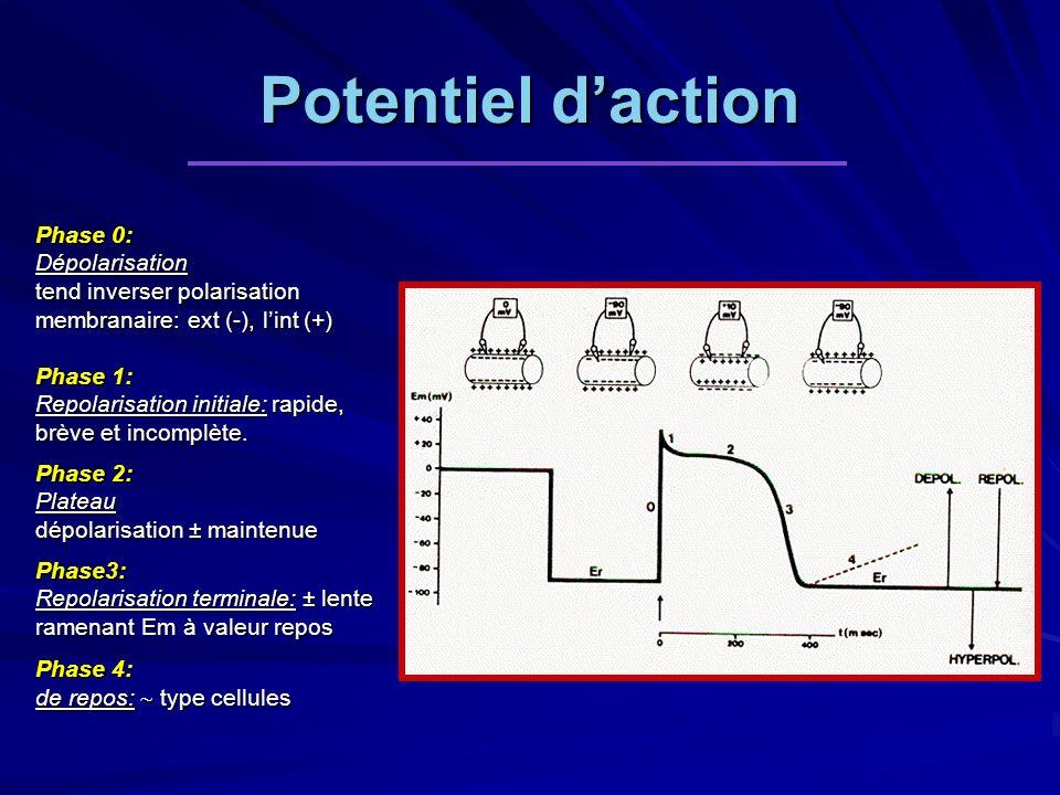 Potentiel d'action Phase 0: Dépolarisation tend inverser polarisation