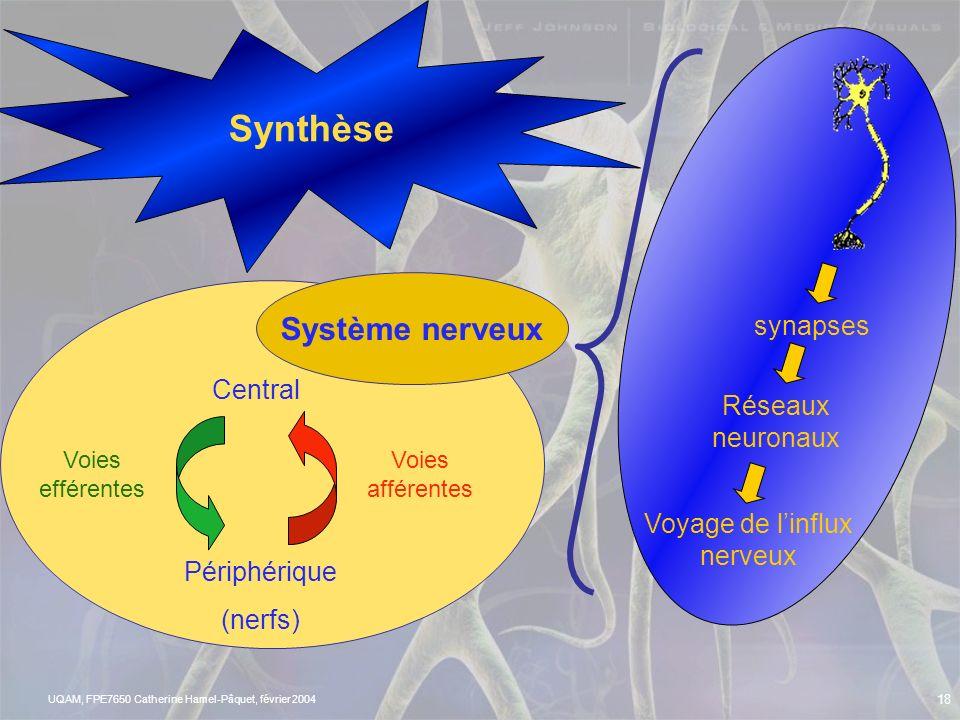 Synthèse Système nerveux synapses Central Réseaux neuronaux