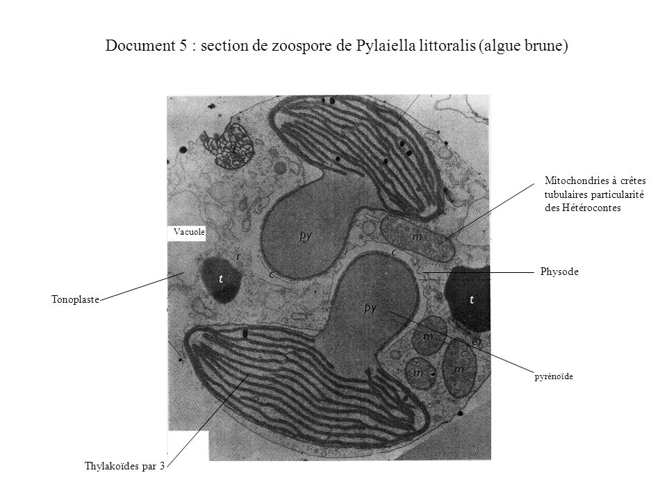 Document 5 : section de zoospore de Pylaiella littoralis (algue brune)