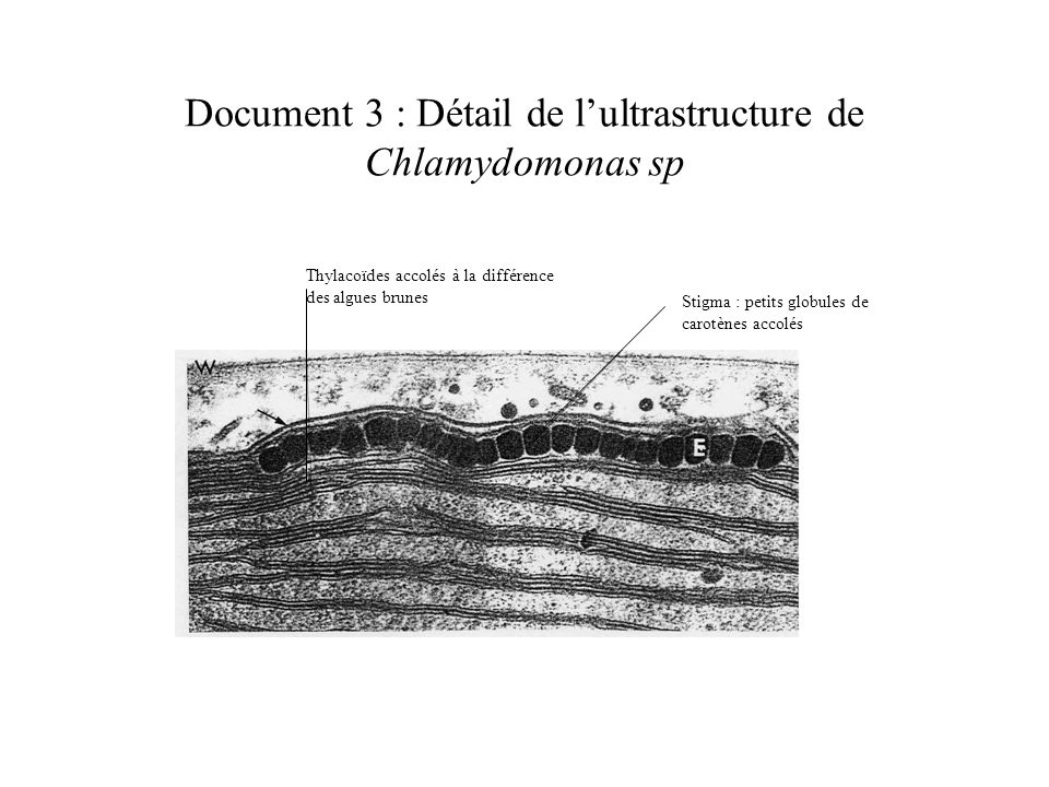 Document 3 : Détail de l'ultrastructure de Chlamydomonas sp
