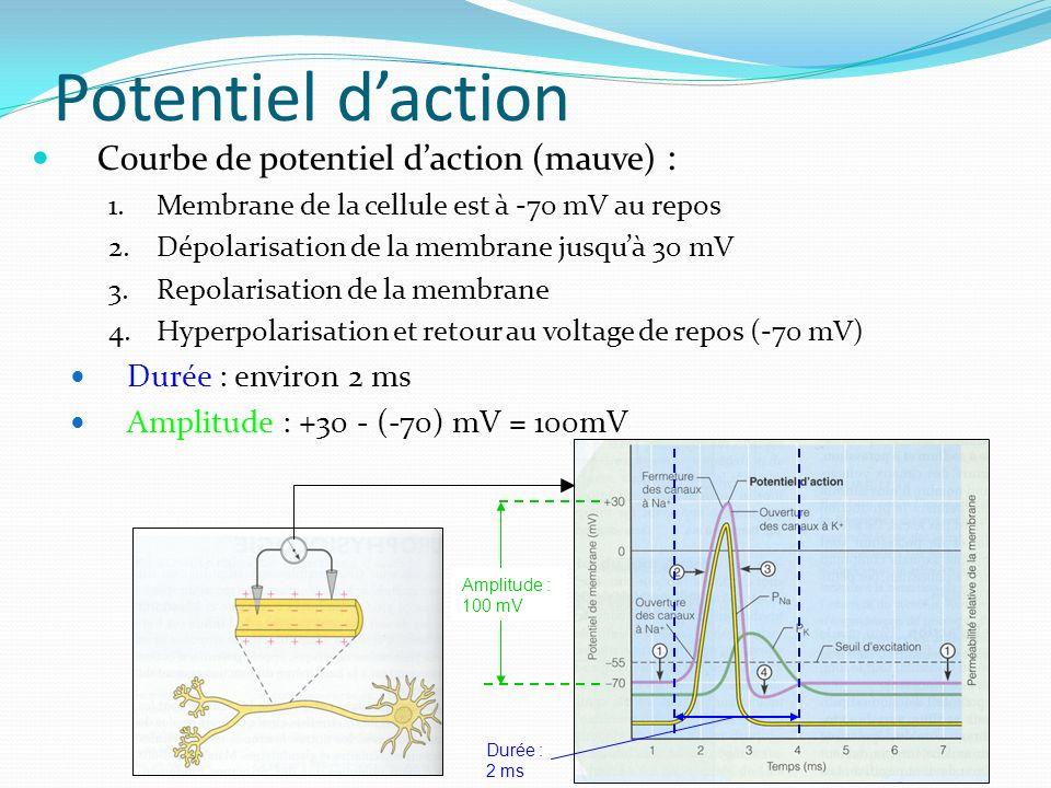 Potentiel d'action Courbe de potentiel d'action (mauve) :