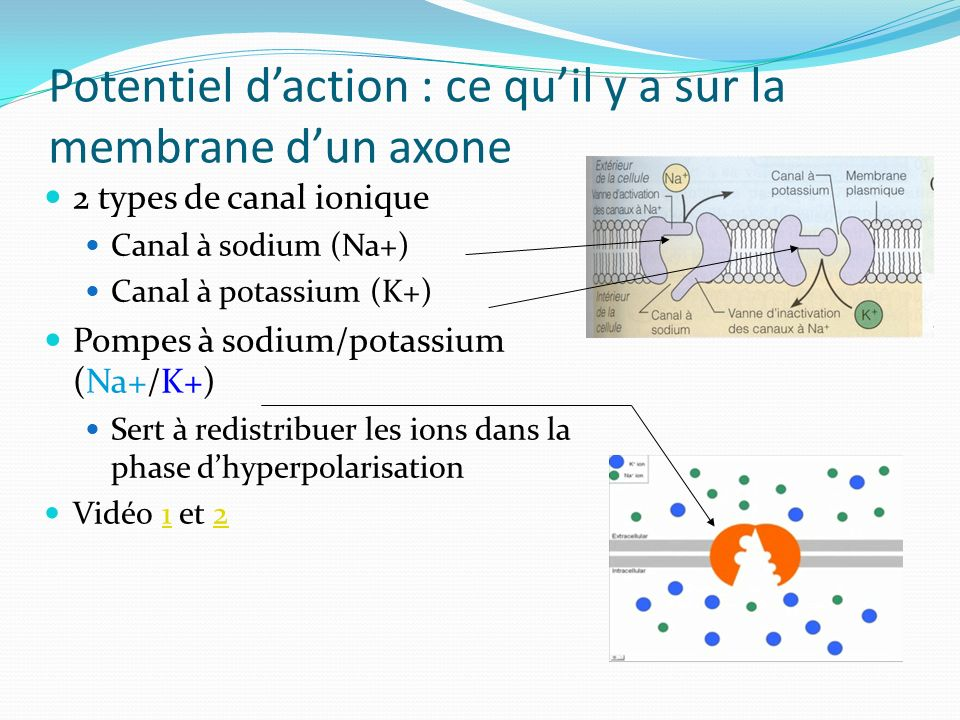 Potentiel d'action : ce qu'il y a sur la membrane d'un axone