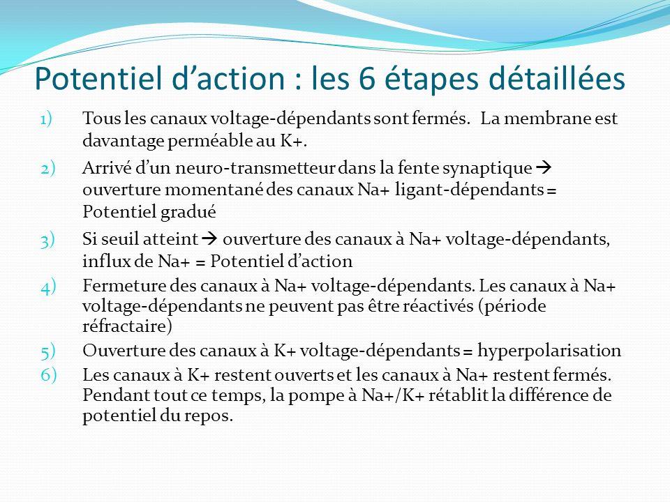 Potentiel d'action : les 6 étapes détaillées