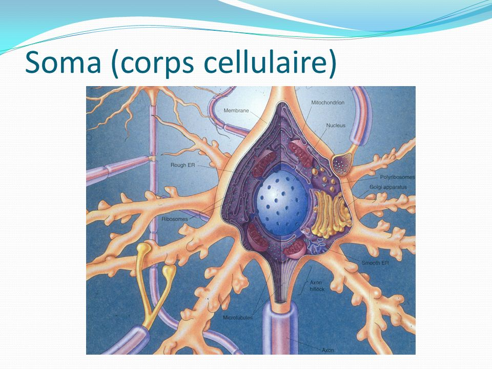 Soma (corps cellulaire)