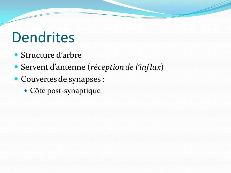 Dendrites Structure d'arbre Servent d'antenne (réception de l'influx)