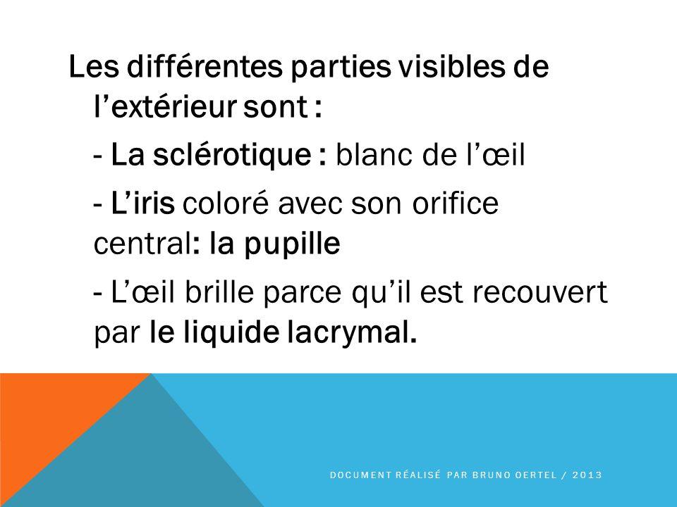 Les différentes parties visibles de l'extérieur sont : - La sclérotique : blanc de l'œil - L'iris coloré avec son orifice central: la pupille - L'œil brille parce qu'il est recouvert par le liquide lacrymal.