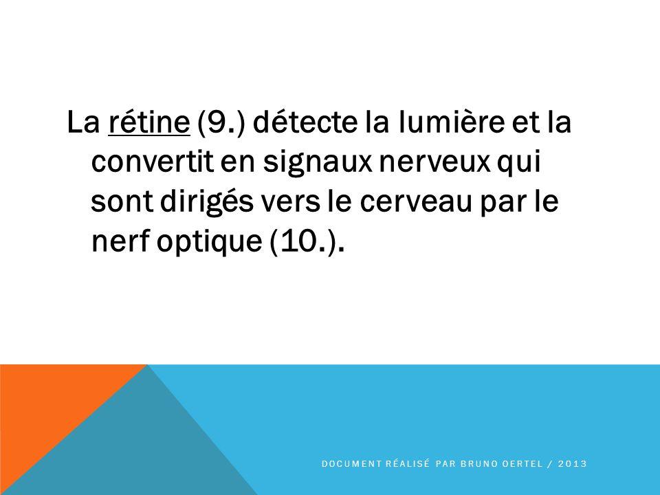 La rétine (9.) détecte la lumière et la convertit en signaux nerveux qui sont dirigés vers le cerveau par le nerf optique (10.).