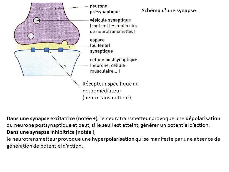 Schéma d'une synapse Récepteur spécifique au neuromédiateur (neurotransmetteur)