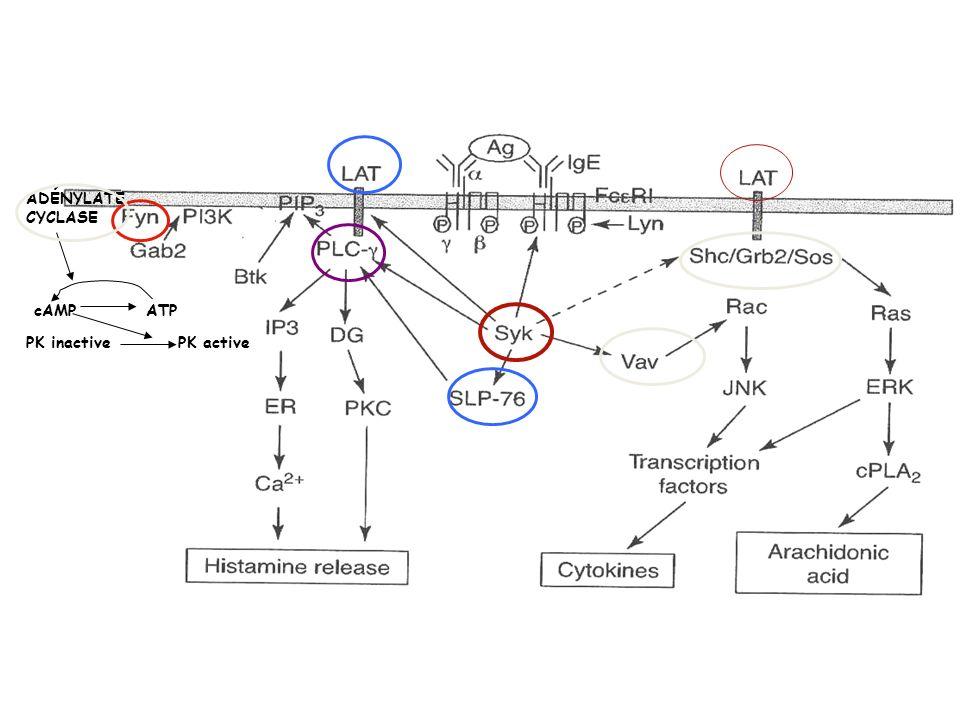 ADÉNYLATE CYCLASE cAMP ATP PK inactive PK active