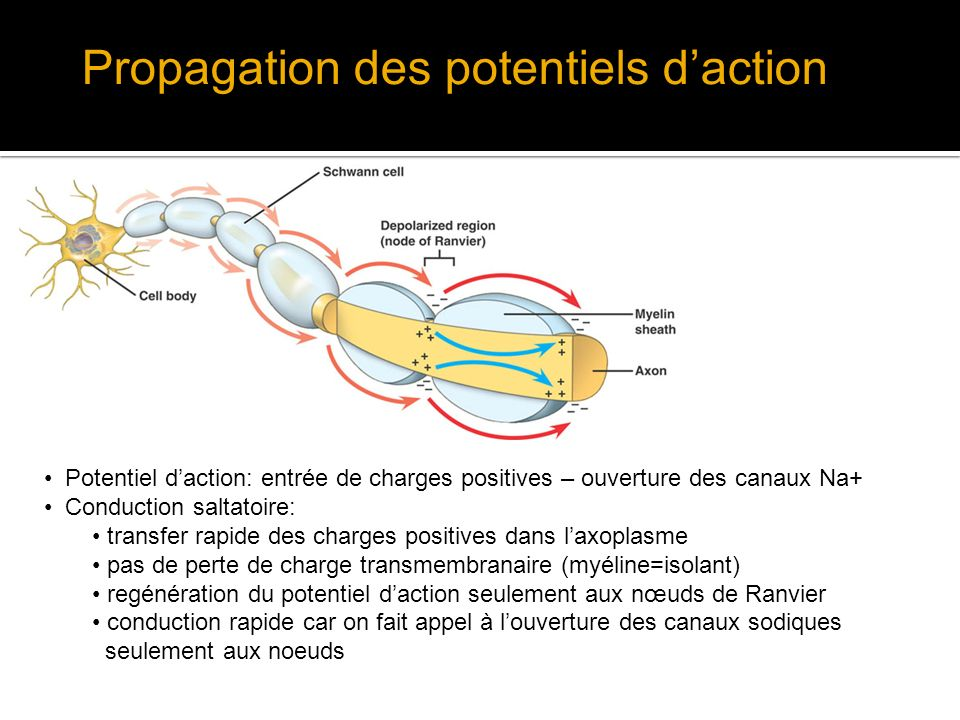 Propagation des potentiels d'action