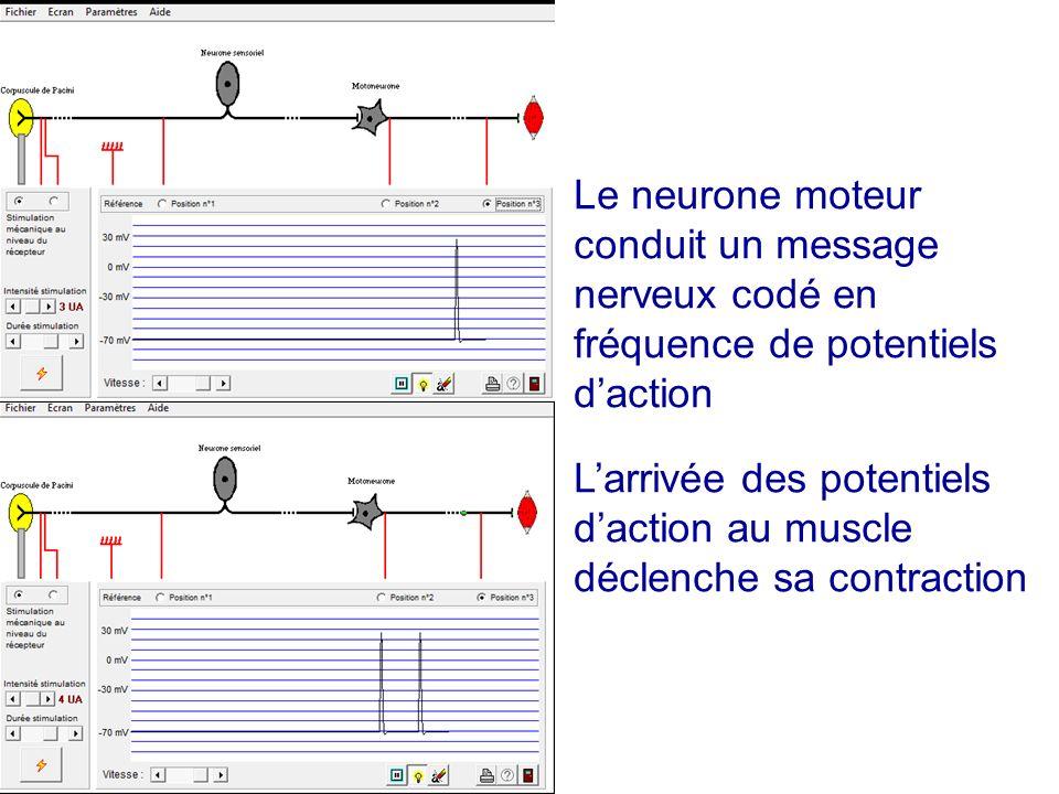 Le neurone moteur conduit un message nerveux codé en fréquence de potentiels d'action