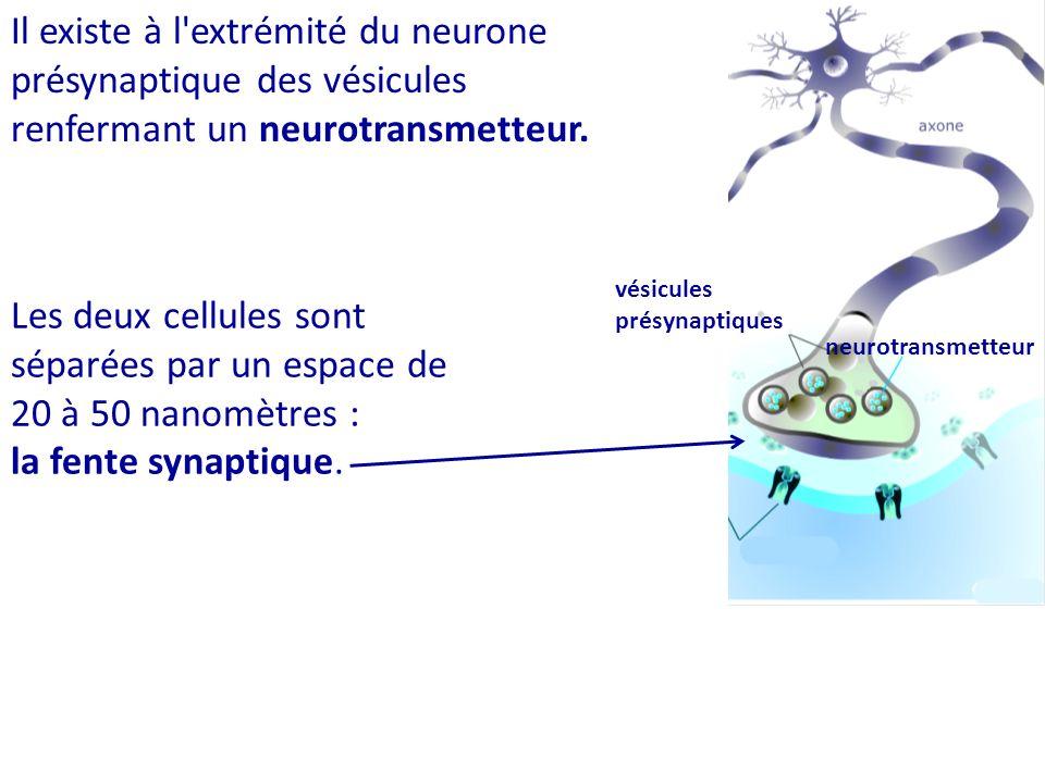 Les deux cellules sont séparées par un espace de 20 à 50 nanomètres :