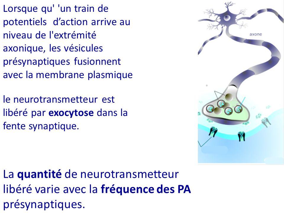 Lorsque qu un train de potentiels d'action arrive au niveau de l extrémité axonique, les vésicules présynaptiques fusionnent avec la membrane plasmique