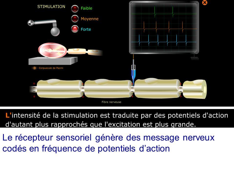 Le récepteur sensoriel génère des message nerveux codés en fréquence de potentiels d'action
