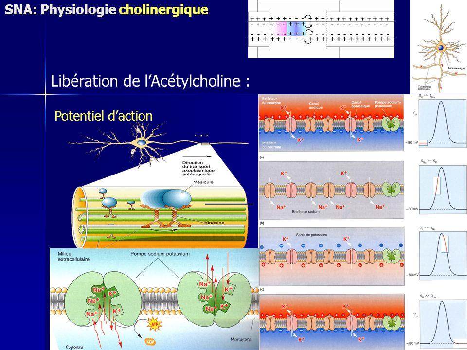 Libération de l'Acétylcholine :
