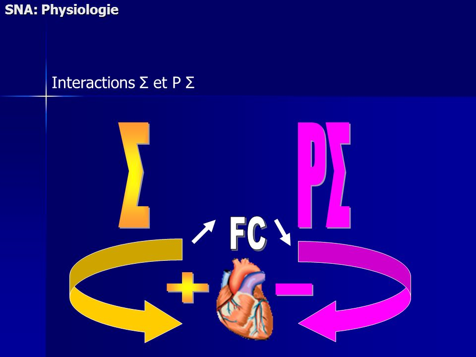 SNA: Physiologie Interactions Σ et P Σ Σ PΣ FC + -