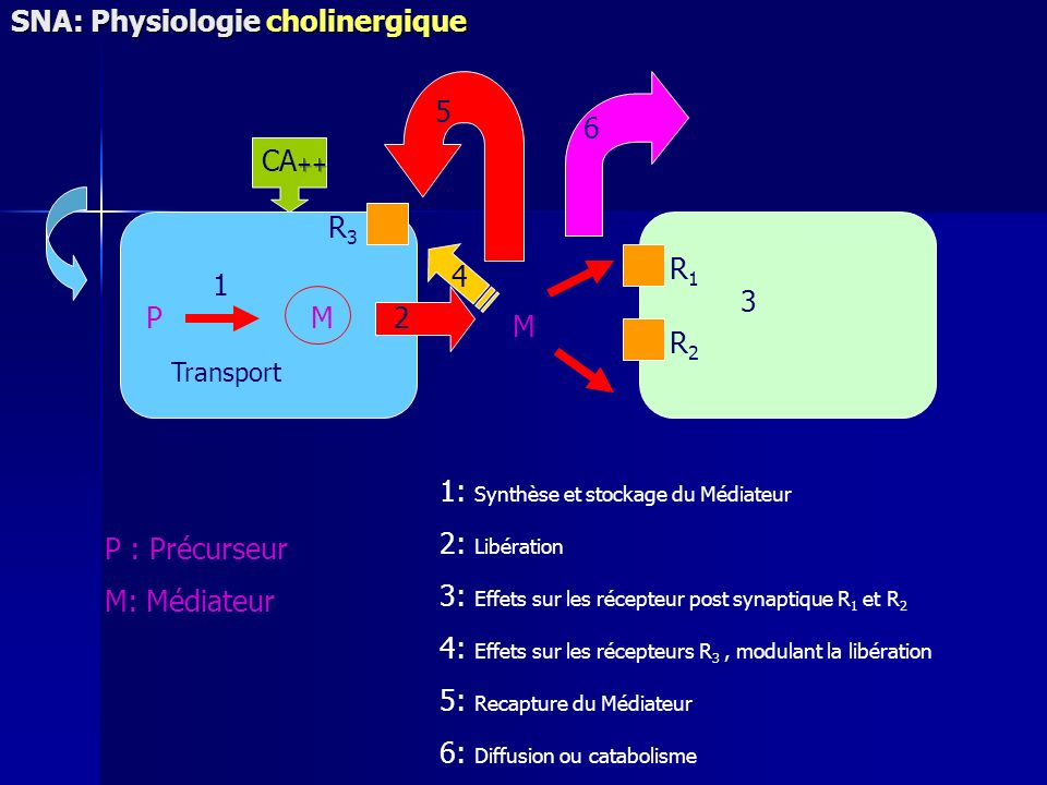 SNA: Physiologie cholinergique