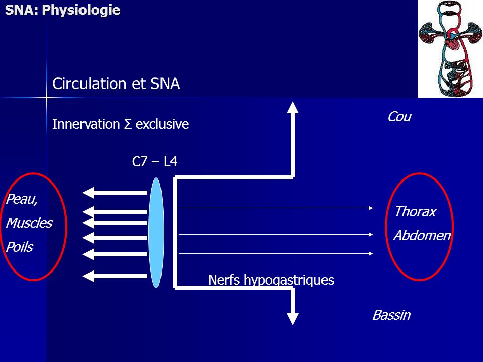 Circulation et SNA SNA: Physiologie Cou Innervation Σ exclusive
