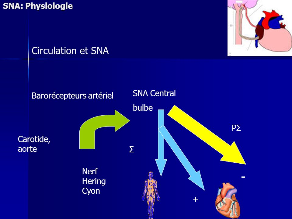 - Circulation et SNA SNA: Physiologie SNA Central