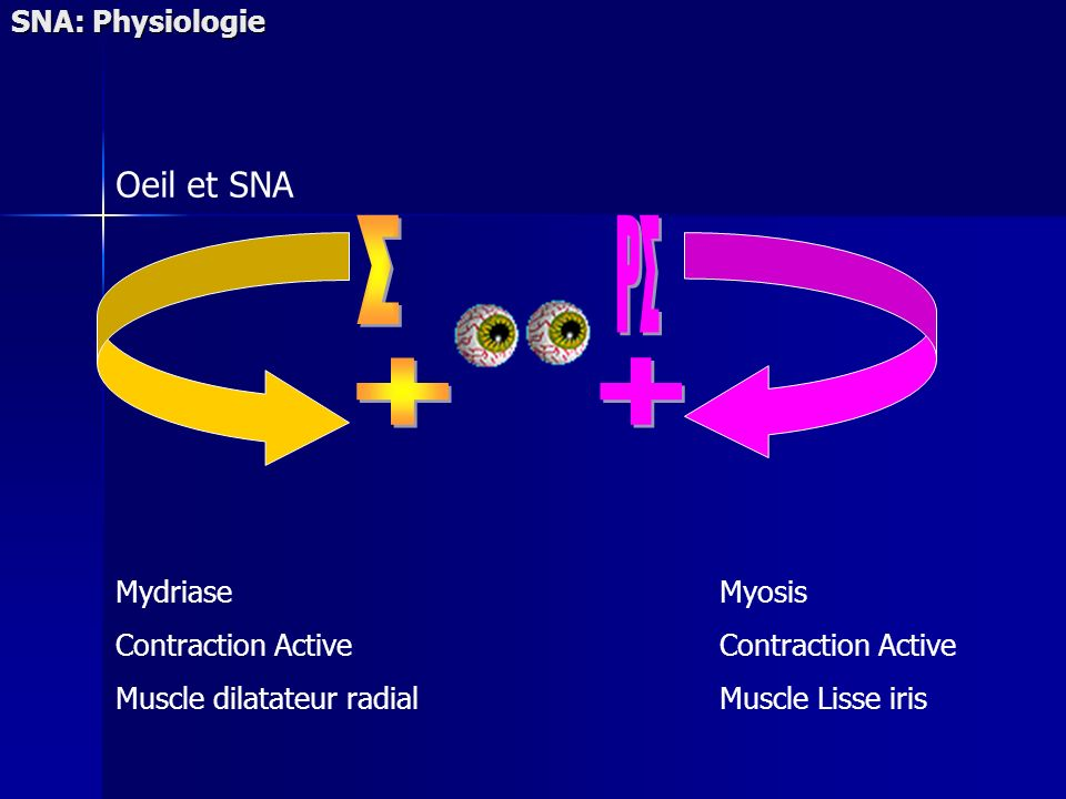 Σ PΣ + + Oeil et SNA SNA: Physiologie Mydriase Contraction Active