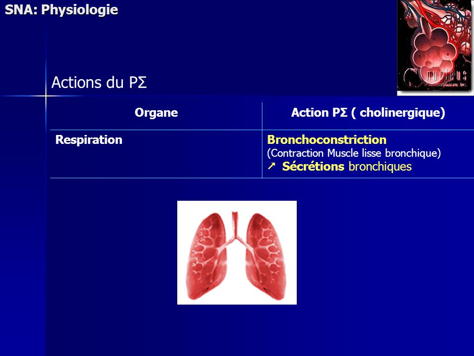 Action PΣ ( cholinergique)