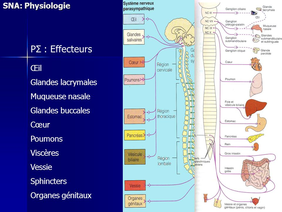 PΣ : Effecteurs SNA: Physiologie Œil Glandes lacrymales