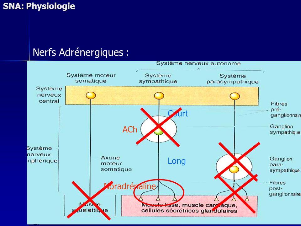 SNA: Physiologie Nerfs Adrénergiques : Court ACh Long Noradrénaline