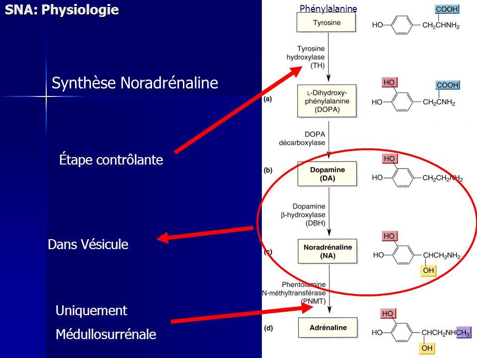 Synthèse Noradrénaline