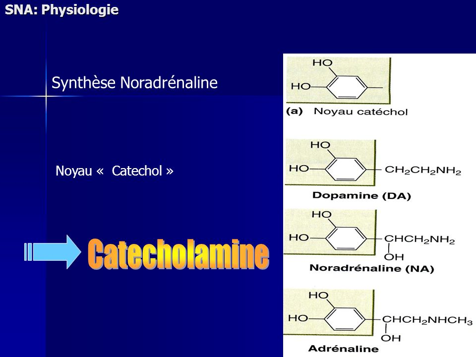 Catecholamine Synthèse Noradrénaline SNA: Physiologie