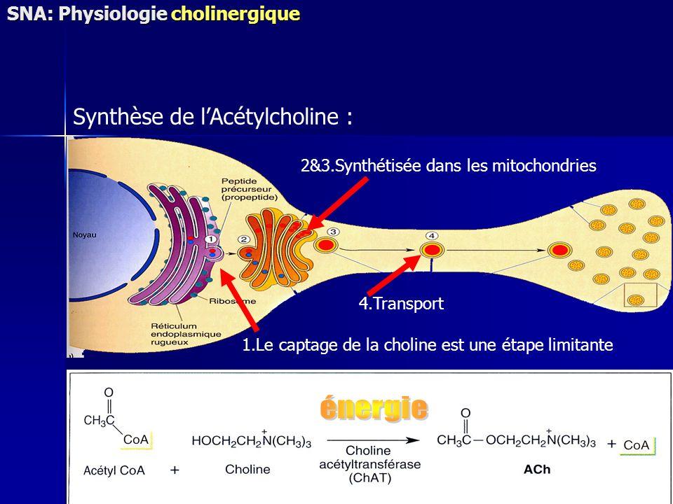 Synthèse de l'Acétylcholine :