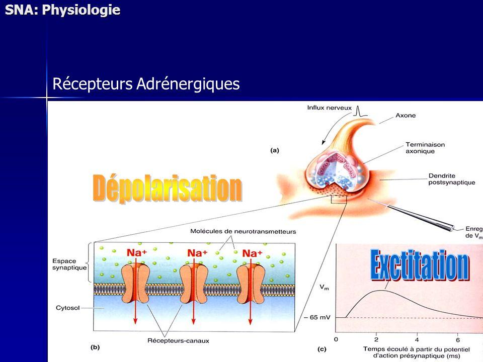 SNA: Physiologie Récepteurs Adrénergiques Dépolarisation Exctitation