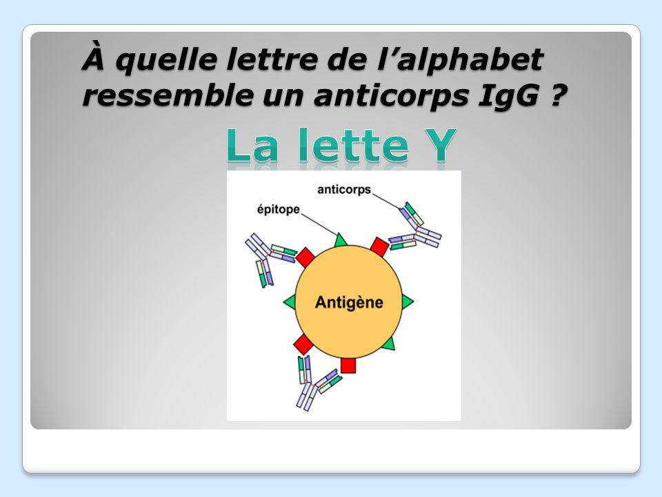 À quelle lettre de l'alphabet ressemble un anticorps IgG