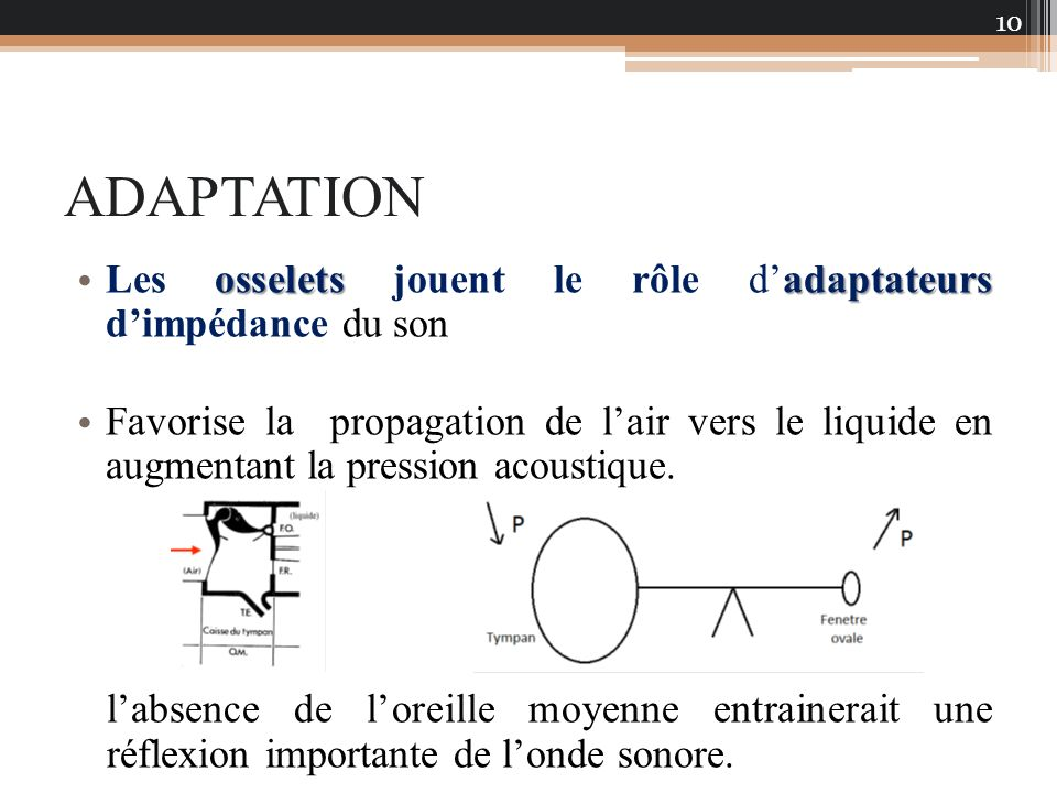 ADAPTATION Les osselets jouent le rôle d'adaptateurs d'impédance du son.