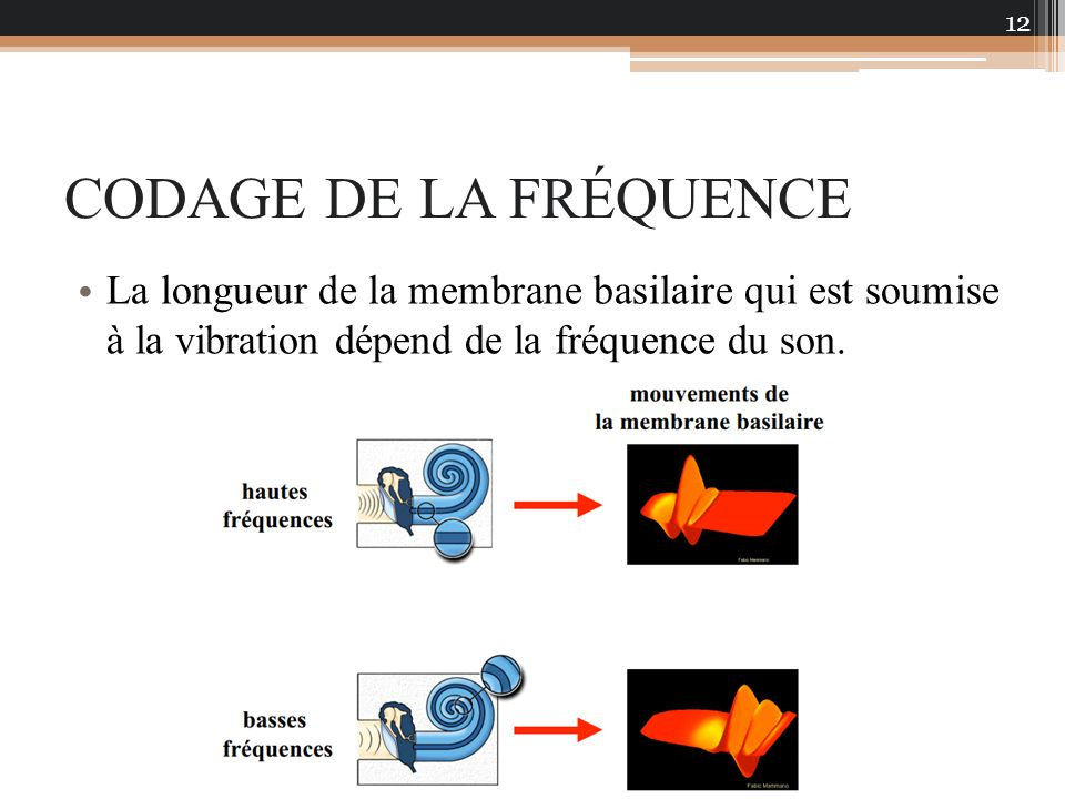 CODAGE DE LA FRÉQUENCE La longueur de la membrane basilaire qui est soumise à la vibration dépend de la fréquence du son.