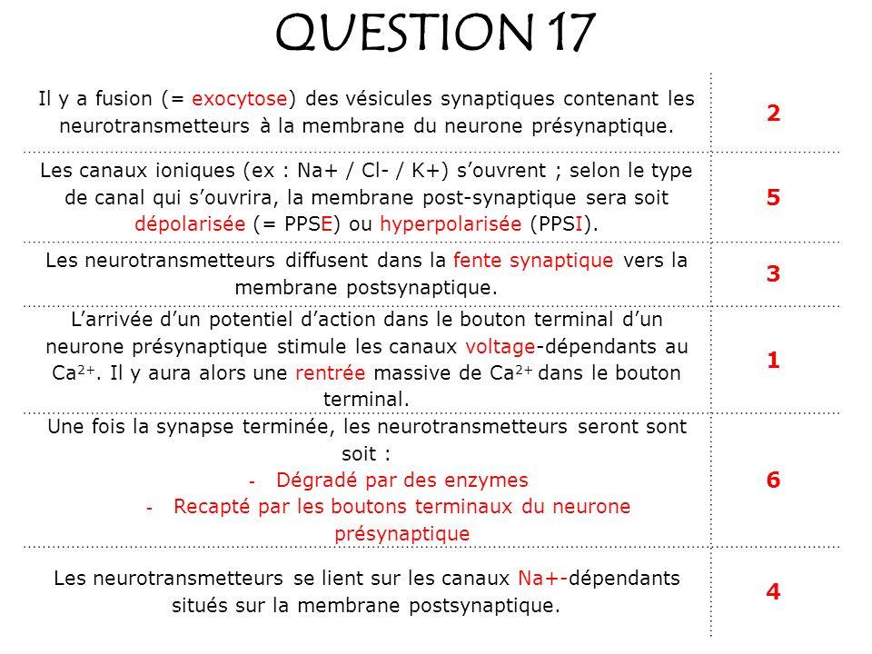 QUESTION 17 Il y a fusion (= exocytose) des vésicules synaptiques contenant les neurotransmetteurs à la membrane du neurone présynaptique.