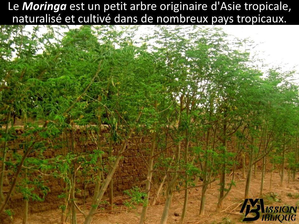 Le Moringa est un petit arbre originaire d Asie tropicale, naturalisé et cultivé dans de nombreux pays tropicaux.
