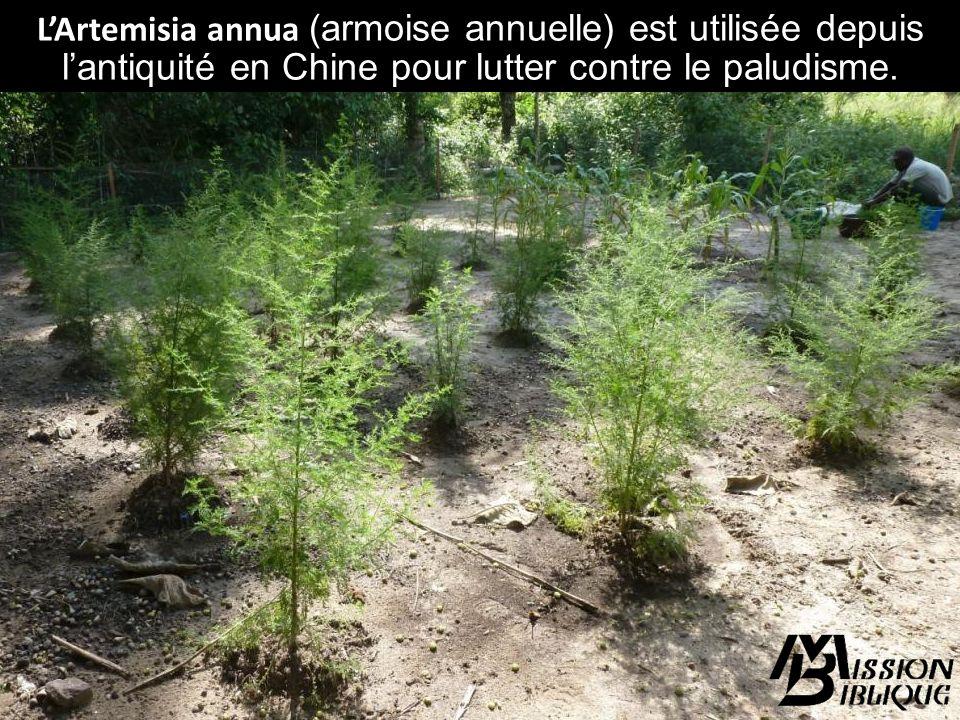 L'Artemisia annua (armoise annuelle) est utilisée depuis l'antiquité en Chine pour lutter contre le paludisme.