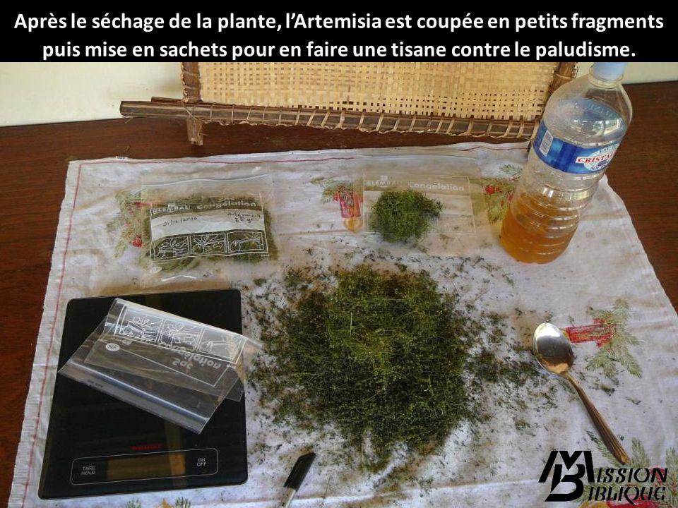 Après le séchage de la plante, l'Artemisia est coupée en petits fragments puis mise en sachets pour en faire une tisane contre le paludisme.