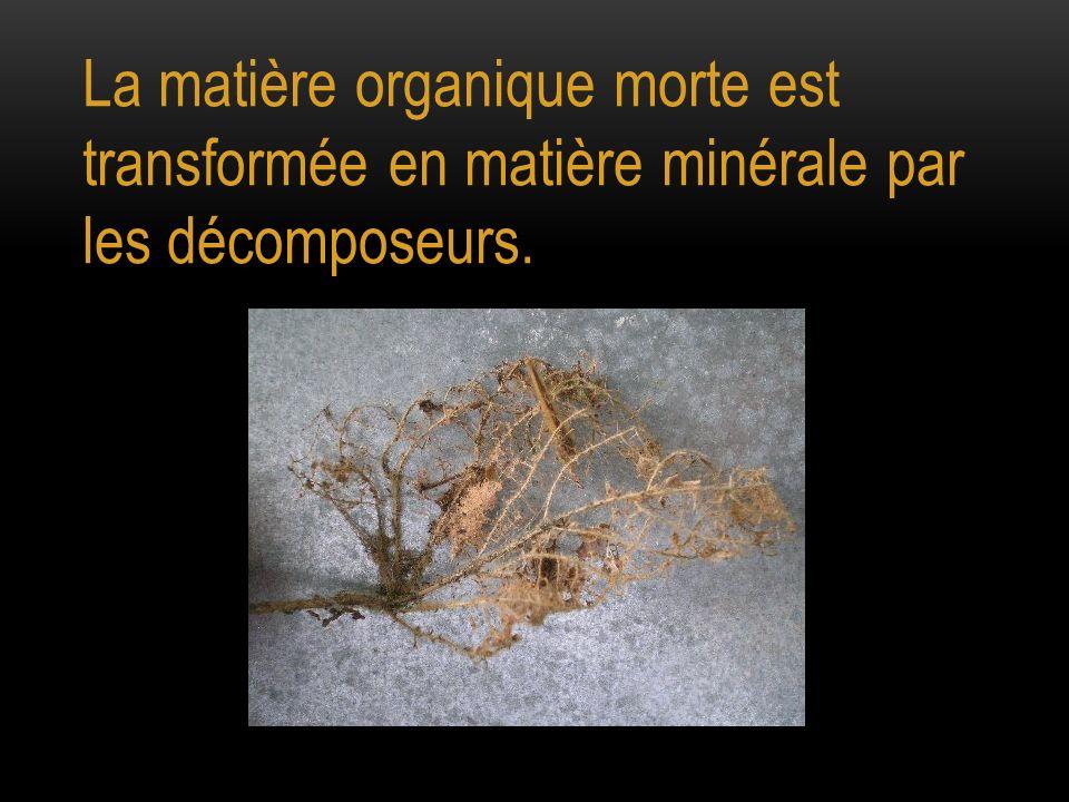 La matière organique morte est transformée en matière minérale par les décomposeurs.